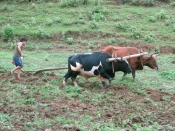 Yoked cattle farming2
