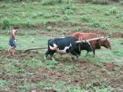 Yoked cattle farming2